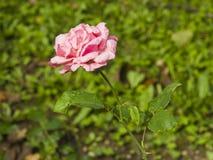 De bloem van roze nam bij bloembed na regen met regendruppels toe, close-up, selectieve nadruk, ondiepe DOF stock afbeelding