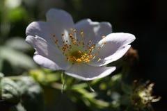 De bloem van ruw donsachtig-nam toe stock afbeeldingen