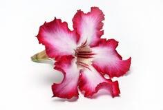 De bloem van de Sabiester op wit royalty-vrije stock afbeeldingen
