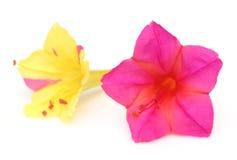 De bloem van Sandhyamoni van Zuidoost-Azië Stock Foto's