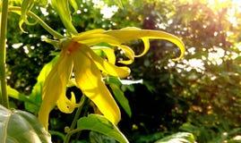 De bloem van Siam Royalty-vrije Stock Foto's