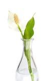 De bloem van Spatiphyllum in een vaas Royalty-vrije Stock Fotografie