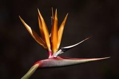 De bloem van Sterlitzia Royalty-vrije Stock Afbeelding