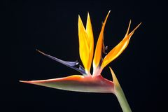 De bloem van Stralitsia Royalty-vrije Stock Foto's
