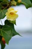 De bloem van strandmaho Stock Afbeelding