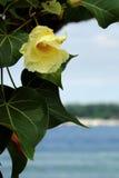 De bloem van strandmaho Stock Foto