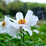 De bloem van de Subshrubbypioen Royalty-vrije Stock Fotografie