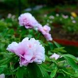 De bloem van de Subshrubbypioen Stock Afbeelding
