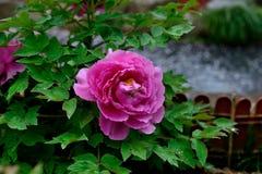 De bloem van de Subshrubbypioen Stock Foto