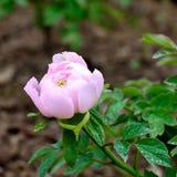 De bloem van de Subshrubbypioen Stock Fotografie