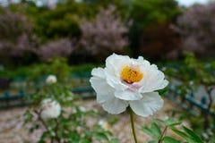 De bloem van de Subshrubbypioen Stock Afbeeldingen