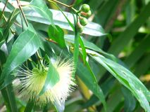 De bloem van syzygiejambos of Djamboevruchtbloem royalty-vrije stock foto's