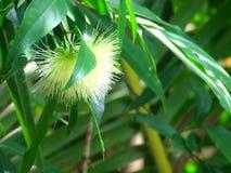 De bloem van syzygiejambos of Djamboevruchtbloem royalty-vrije stock afbeeldingen