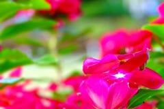 De Bloem van Tabernaemontanadivaricata stock afbeeldingen