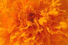 De bloem van Tagetes Stock Foto's
