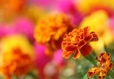 De bloem van Tagetes Stock Afbeelding