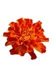 De bloem van Tagetes Stock Foto