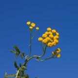 De bloem van Tansy op de blauwe hemel Stock Fotografie