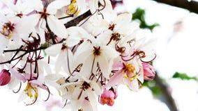 De bloem van de tijgertijger in Thailand stock afbeeldingen
