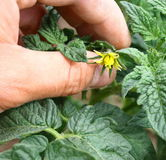 De bloem van tomaten Stock Foto's