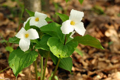 De Bloem van Trillium stock foto's