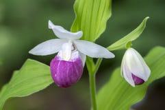 De bloem van de de tuin sierorchidee van Cypripediumreginae prachtige, roze en witte bloeiende installatie stock foto