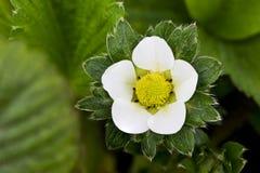 De bloem van de tuinaardbei Stock Afbeelding