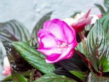 De bloem van de tuinbalsem Royalty-vrije Stock Afbeeldingen