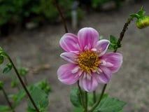 De bloem van de tuindahlia Stock Foto's