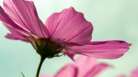 De bloem van de tuinkosmos van erachter stock afbeeldingen