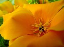 De bloem van de tulp stock foto's
