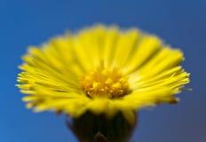 De bloem van Tussilagofarfara royalty-vrije stock afbeeldingen