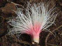 De bloem van Ulahkepu Stock Foto's