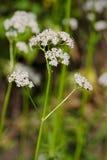 De bloem van Valerianaofficinalis Royalty-vrije Stock Foto