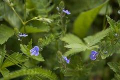 De bloem van Veronica Royalty-vrije Stock Afbeelding