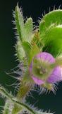 De bloem van Veronica op groene Achtergrond Royalty-vrije Stock Fotografie
