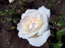 De bloem van wit nam op de struik toe Stock Afbeelding