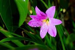 De bloem van Zephyranthesminuta, Chiang Mai-provincie, Thailand stock afbeeldingen