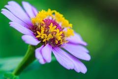 De bloem van Zinnia stock afbeeldingen