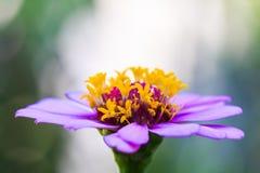 De bloem van Zinnia stock foto's