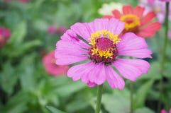 De bloem van Zinnia, close-up van de rode bloem van Zinnia Stock Foto