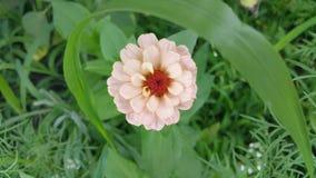 De bloem van Zinnia in de tuin Stock Fotografie