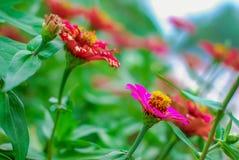 De bloem van Zinnia in de tuin stock afbeelding