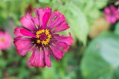 De bloem van Zinnia in tuin royalty-vrije stock afbeelding