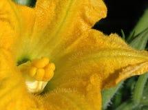 De bloem van Zuchinni Stock Afbeelding
