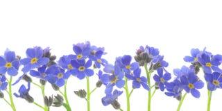 De bloem vergeet me niet Stock Foto's
