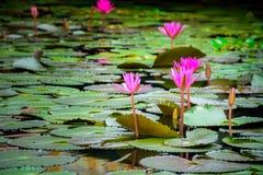 De bloem of Waterlily van Lotus in vijver Royalty-vrije Stock Afbeelding