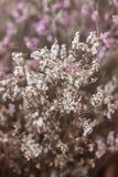 De bloem wordt genoemd statice Royalty-vrije Stock Foto's