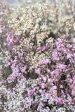 De bloem wordt genoemd statice Royalty-vrije Stock Fotografie
