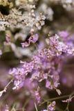 De bloem wordt genoemd statice Stock Foto's